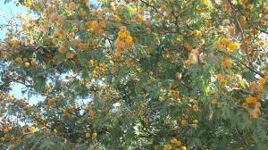 Golden yellow puffballs or beebleberries?