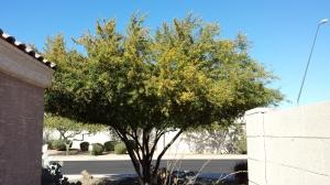 beebleberry tree