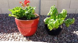 geranium basil