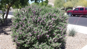 purple flower bush
