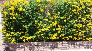 yellow bush at entrance