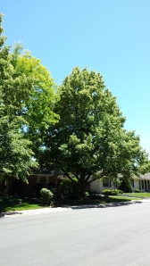 two linden trees