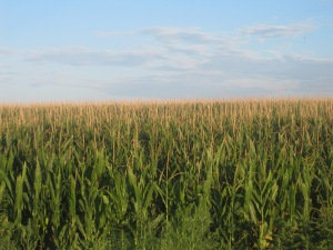 Cornfields_in_Prowers_County,_CO_IMG_5771