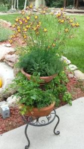 My herb pots and columbine in June.