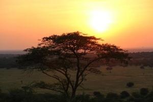 Sunset behind acacia