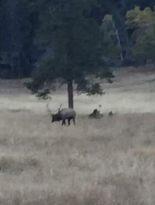 Elk bugling 2015 (2)