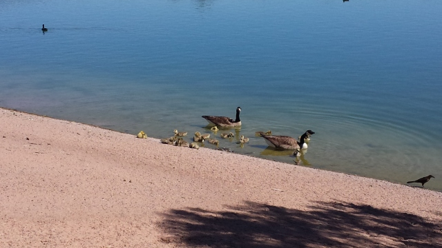 more geese 4.16