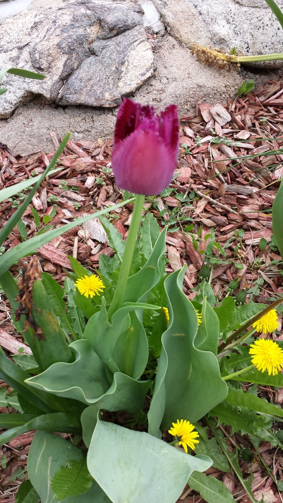 Tulips with their BFFs, the dandilions