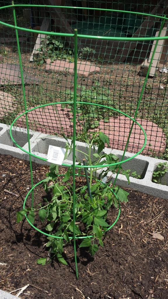 tomato plant 2016